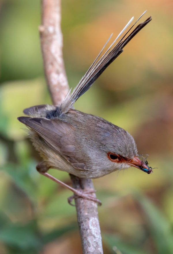 Variegated Fairy Wren